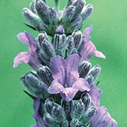 french lavender lavendula officinalis