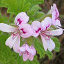 Geranium Select, Medicinal Quality, Pelargonium x asperum (China)